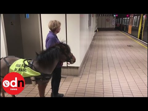 Miniature guide horse in training on Newcastle Metro