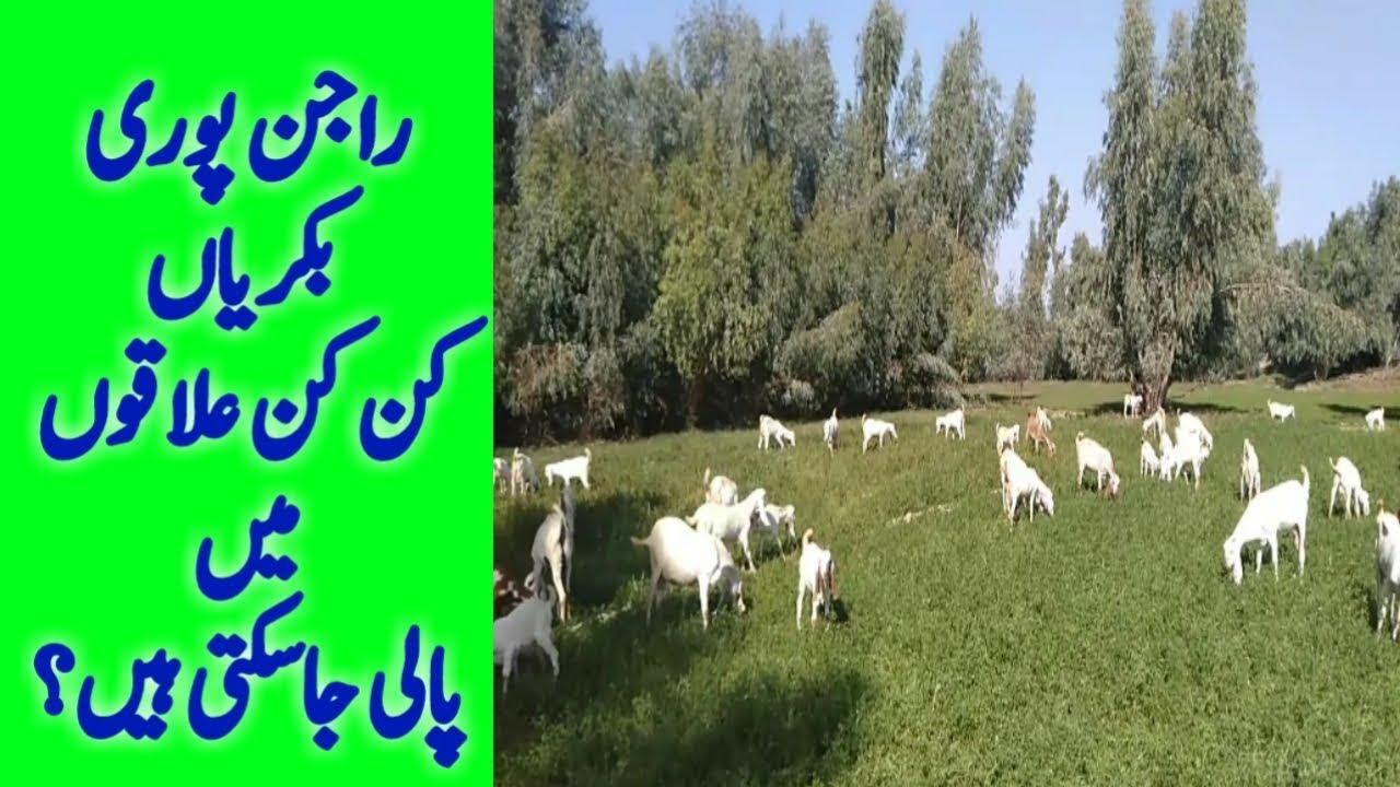 Rajanpuri Goat Farming in Pakistan | Rajan puri goat farm business very  profitable | Urdu Hindi