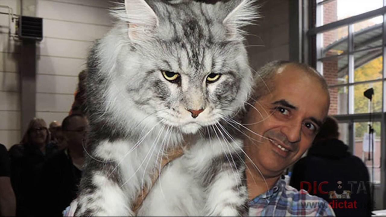 май кун коты фото самый большой