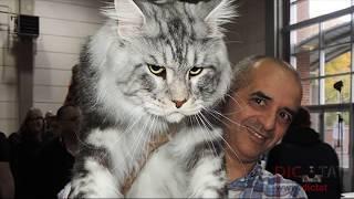 Кот ГИГАНТ. Порода Мейн кун. Породы кошек.
