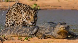jaguar attacks crocodile big cat attacks caiman crocodile