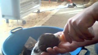 Ταΐζοντας την Όρκα με μπιμπερό (Τσοπανόσκυλο)