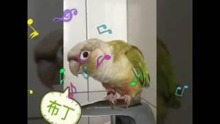 小太陽鸚鵡 || 果丁莓|| 愛說話 愛敲打