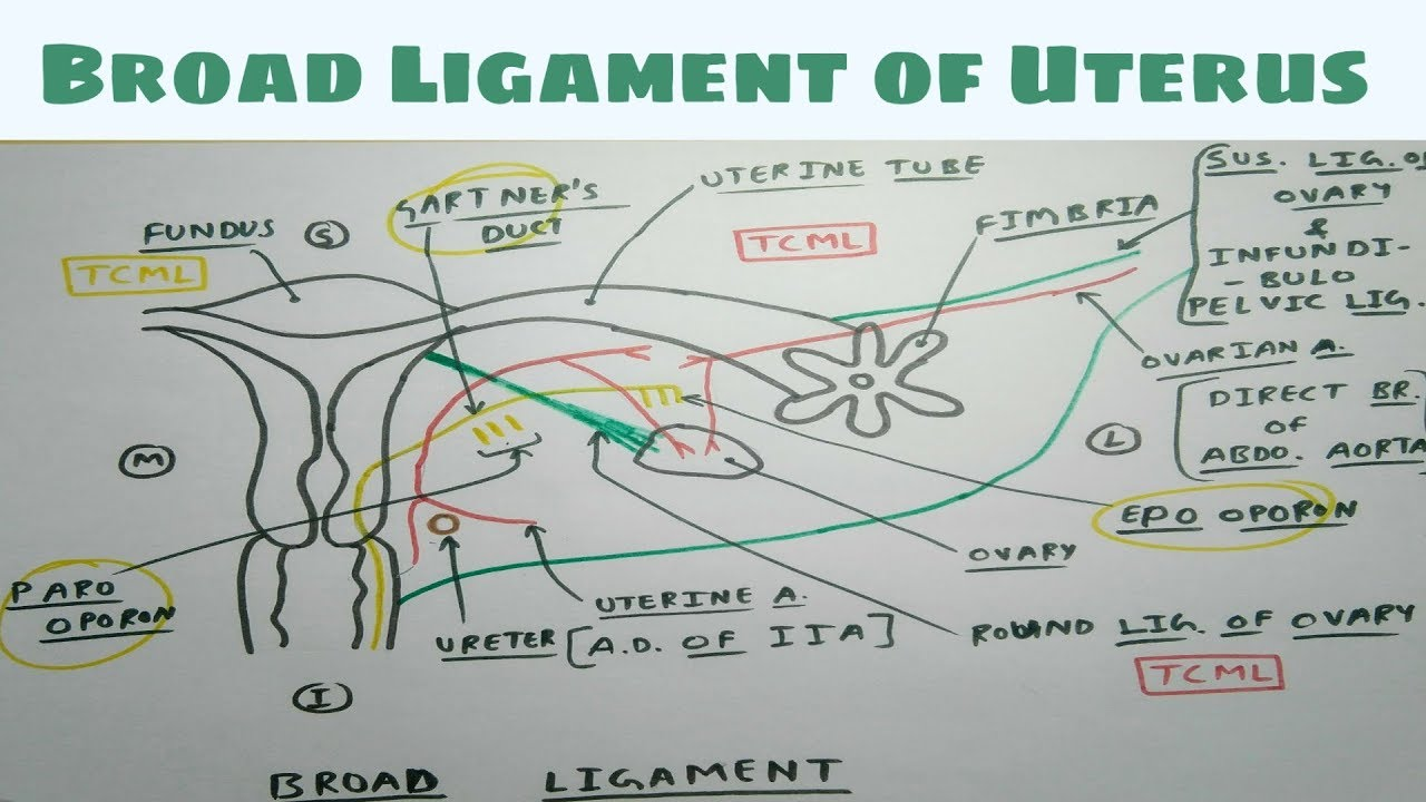 small resolution of broad ligament of uterus 1 diagram