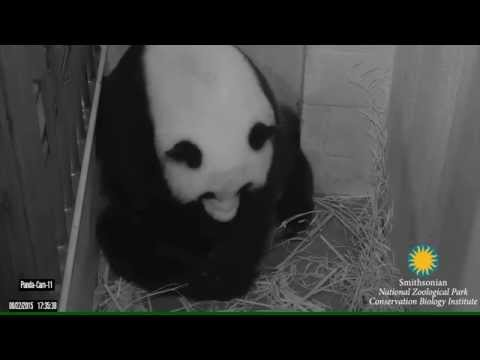 Giant Panda Mei Xiang Giving Birth to Cub August 22, 2015