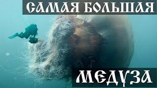 Самая большая медуза