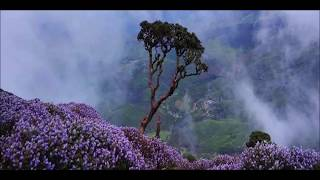 Neelakurinji Blossom time in Munnar  August 28, 2018