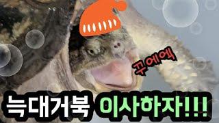 사육(거북이)_거북이를 대형 수조로 이사 하자!!