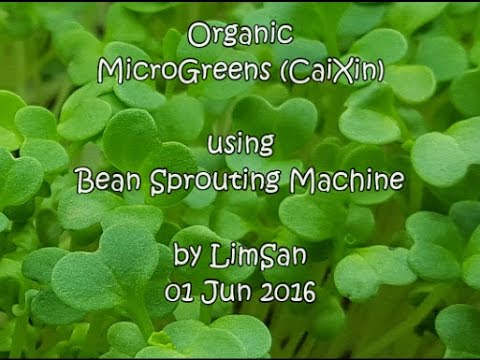 Singapore LimSan's Home-grown Organic Microgreen (CaiXin) using Bean Sprouting Machine