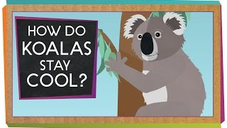 How Do Koalas Stay Cool?