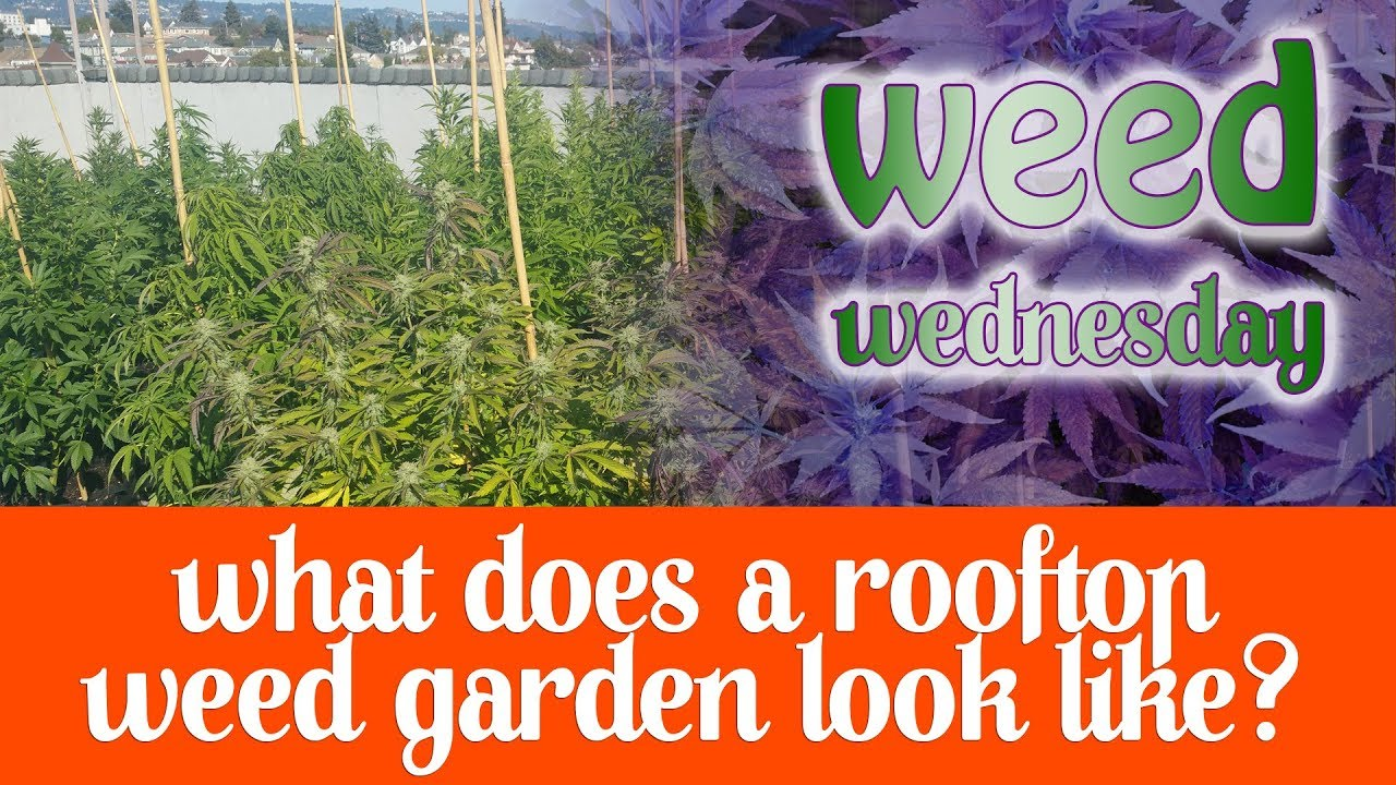 Weed Wednesday What does a Rooftop Weed Garden Look Like?
