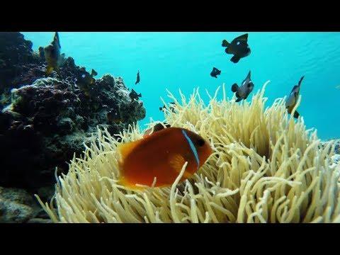 Clownfish On Reef In Fiji Play In Venomous Sea Anemone