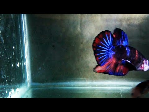 Cupang Nemo Avatar X Black Koi Youtube