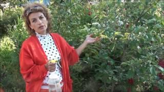 видео Парша на яблоне: как бороться, фото, устойчивые сорта