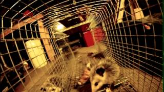 Trapping Opossums  Action Camera