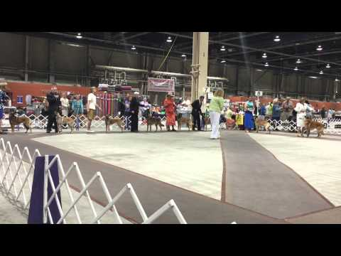 Belgian Malinois, BEST OF BREED competition. HARRISBURG, PA. 8/15.