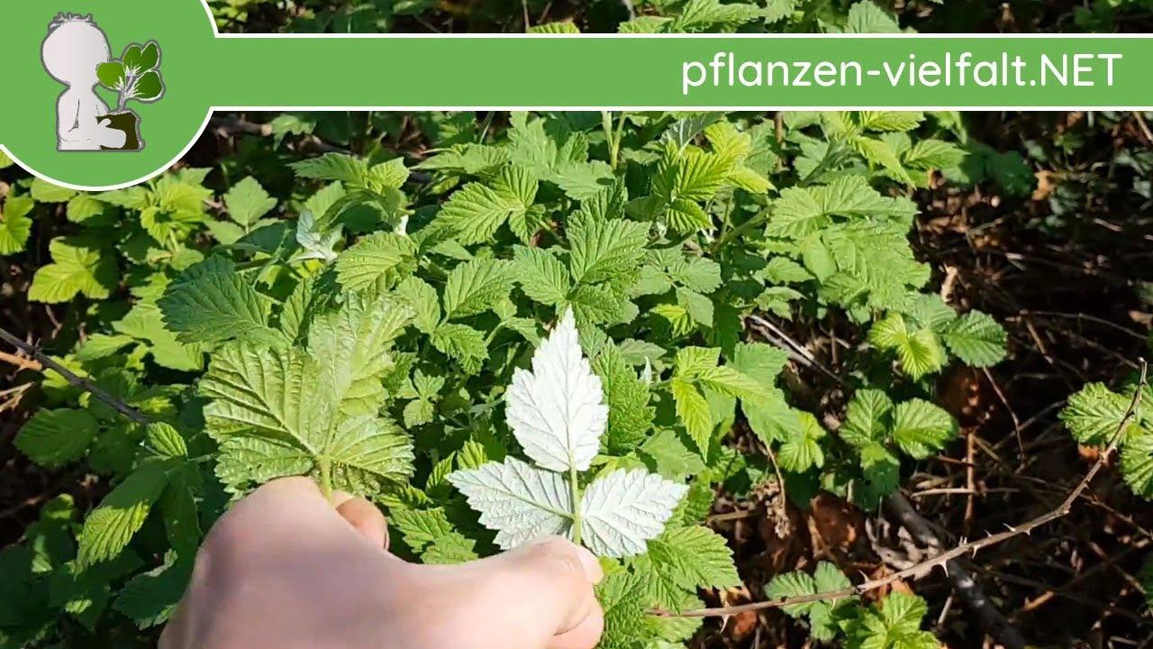 himbeere und brombeere unterscheiden bestimmen im fruhling 17 04 18 pflanzen bestimmung