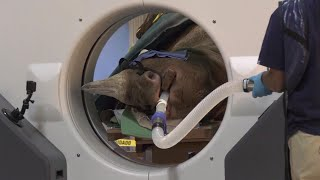 Rhino Undergoes CT Scan in First for Species