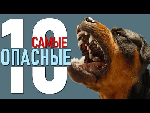 Вопрос: Входит ли ротвейлер в десятку самых опасных во всем мире собак Почему?