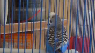 Говорящий волнистый попугай Кеша  Кешка разговаривает  Прикольный попугай