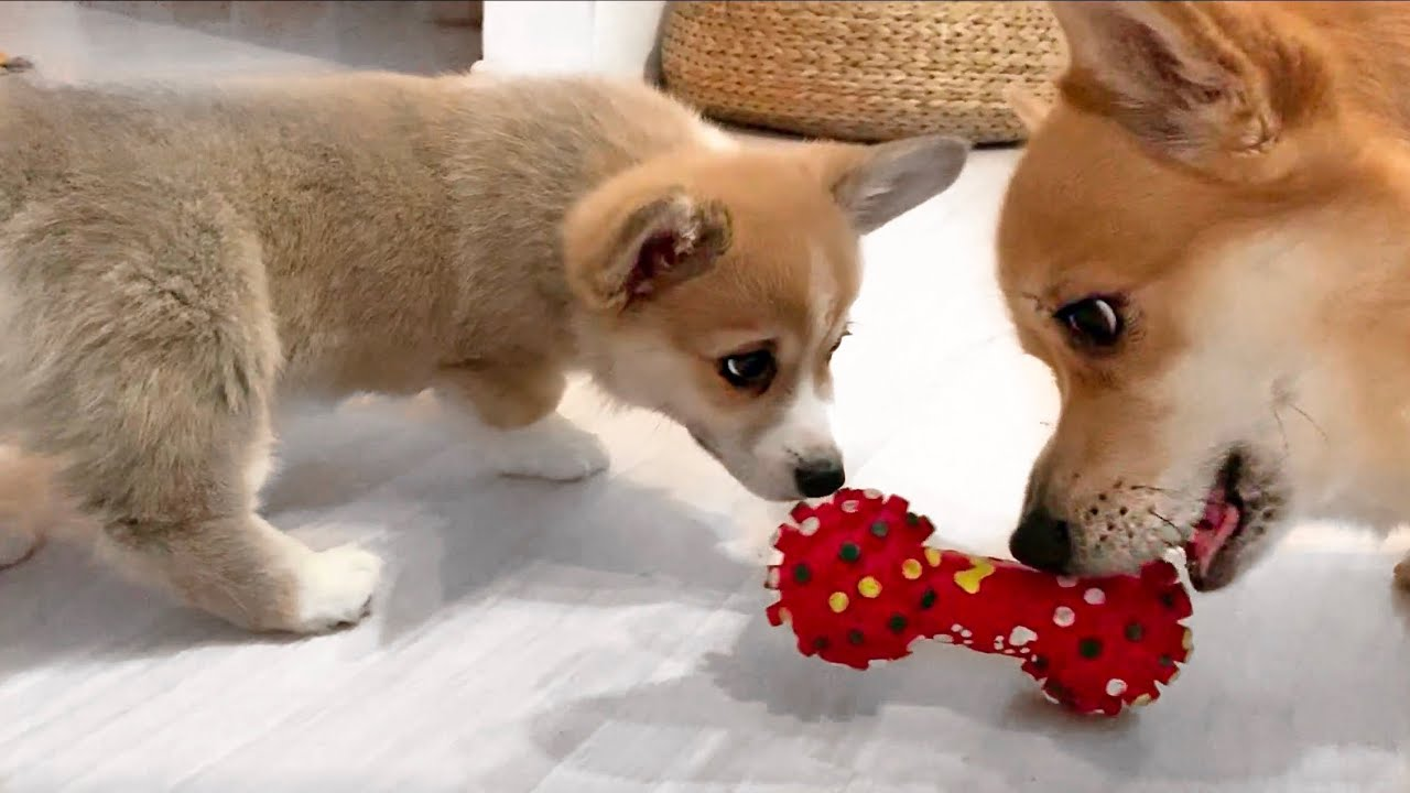 TWO DOGS share a toy!😲 Catch me if you can! Funny Corgi Video 😂