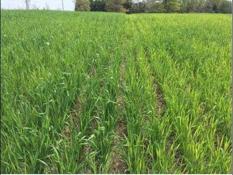 गेंहू में सल्फर की कमी के लक्षण ॥Sulphur deficiency symptoms in wheat