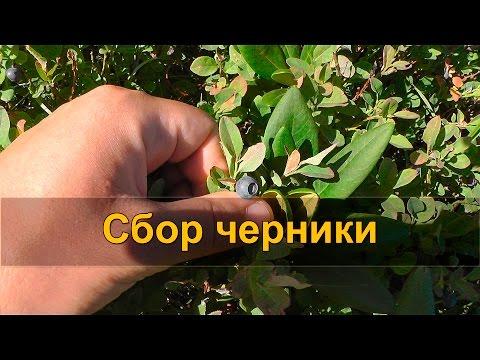 Черника выращивание и полезные свойства Описание, виды