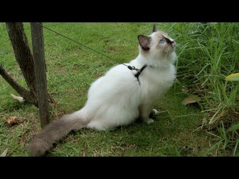 Ragdoll Kitten Harness Training Day 21 Walking on the Leash -- ラグドール - PoathTV Cats - PoathCats