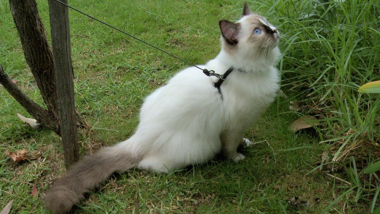 Ragdoll Kitten Harness Training Day 21 Walking on the Leash ...