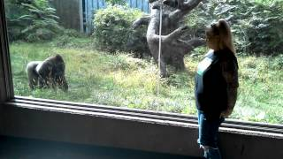Must Watch!! Silverback Gorilla Showing Off & Following My Wife at the Omaha Zoo