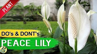 PEACE LILY - Air Purifier Plant Care Tips, Propagation Repot and Mistakes