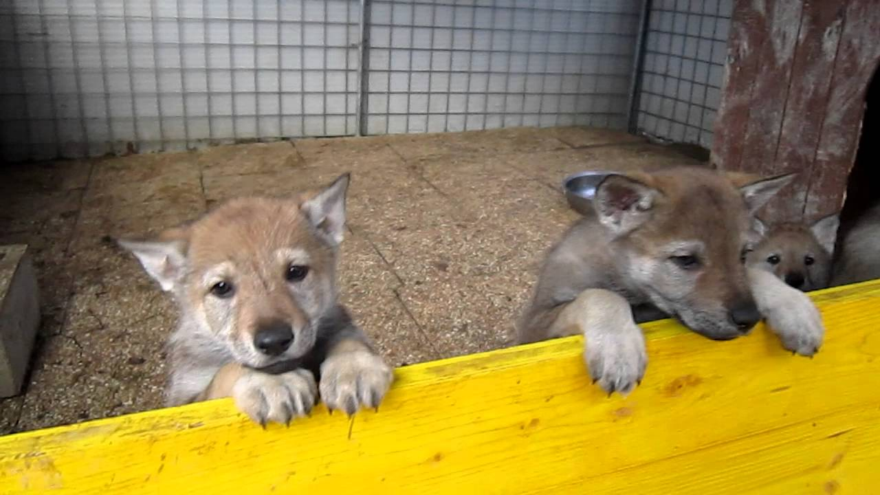 Cuccioli Lupo Cecoslovacco Disponibili Senigallia Youtube