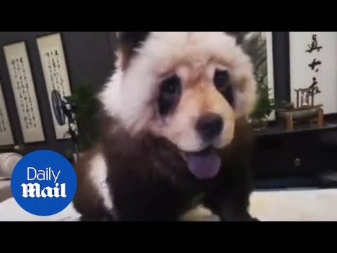 Dog owner in China dyes adorable dog's hair to look like a panda