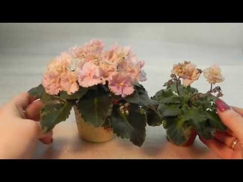 Rob's Antique Rose (R. Robinson) видеообзор сорта