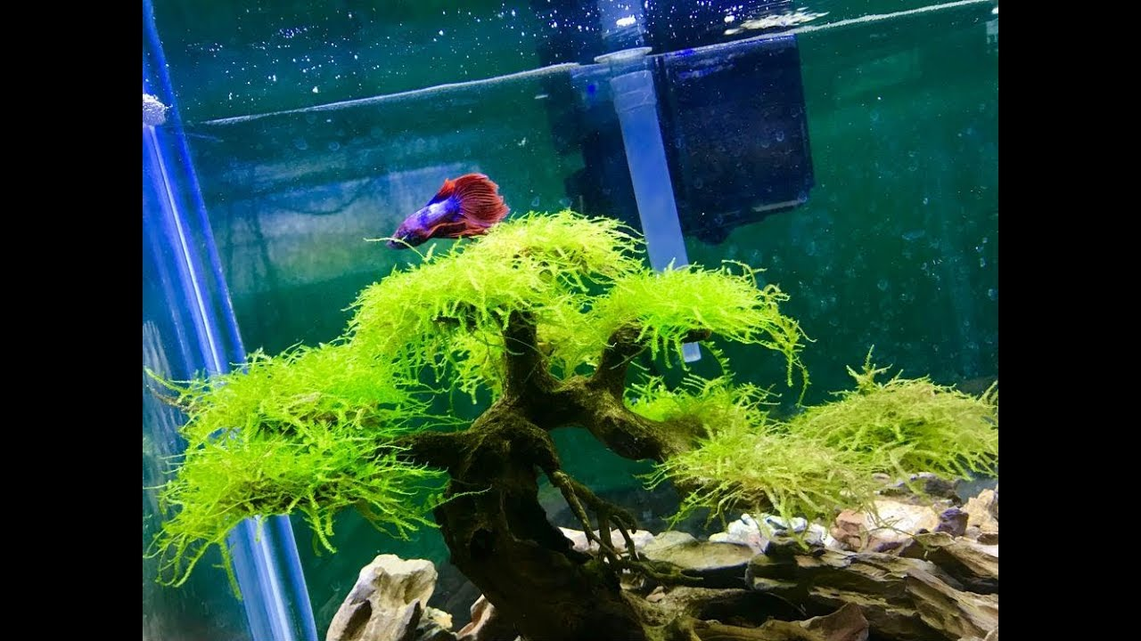 Amazing Betta Fish Tank Aquascape Bonsai Driftwood Youtube