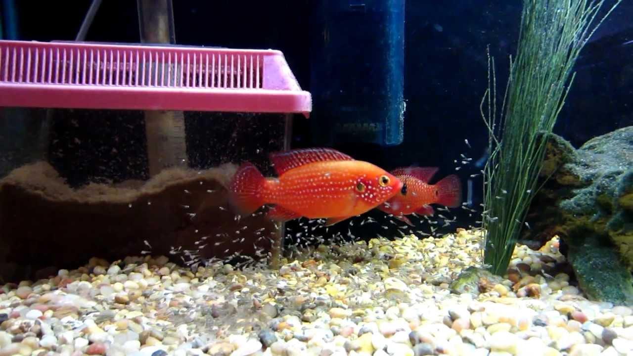 Freshwater jewel fish - Red Jewel Fish Fry
