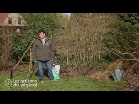 Comment planter un arbuste  en racine nues, le Forsythia ?