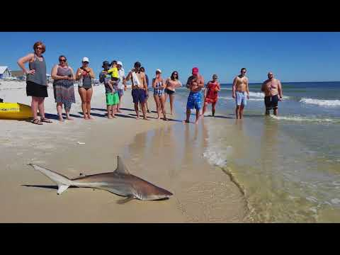 Shark sighting March 2, 2018 in Gulfshores, Al