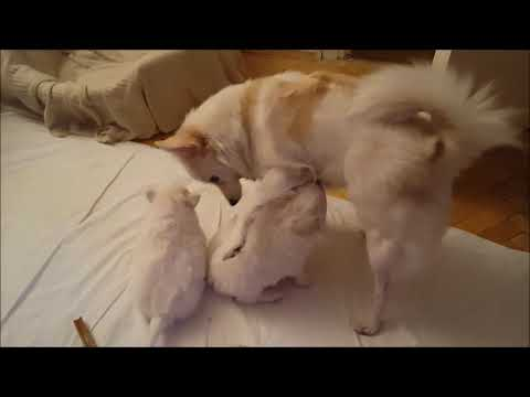 German Spitz Mommy Playing with 5 Weeks Old Puppies