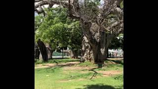 Baobab afrykański - Mombasa - Kenia - Afryka