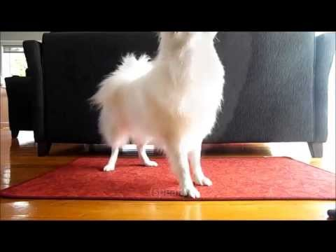Japanese Spitz doing 11 tricks!