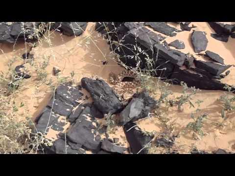 Cerastes cerastes, Mauritania