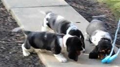Bassett Hound Puppies For Sale
