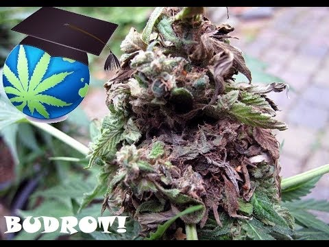 Cannabis Mould, BUD ROT Or Mildew – Diagnosis & Prevention Guide