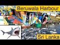 Beruwala Harbour is the Biggest Fish Market in Sri Lanka #tuna #shark