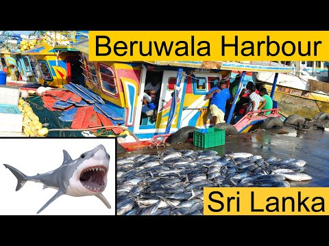 Beruwala Harbour Is The Biggest Fish Market In Sri Lanka #tuna #shark