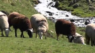 Viande AOC Mouton Barèges-Gavarnie
