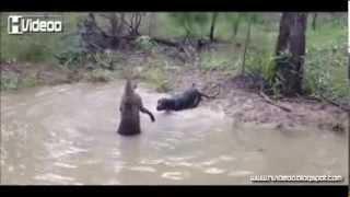 كنغر يحاول أن يغرق كلبا بعدما حوصر في بركة صغيرة !! - !! Kangaroo tries to drown dog Thumbnail
