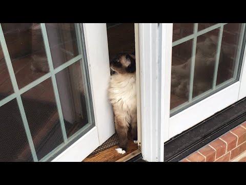 Ragdoll Cats Caymus and Murphy + German Shepherd Parker - Floppycats