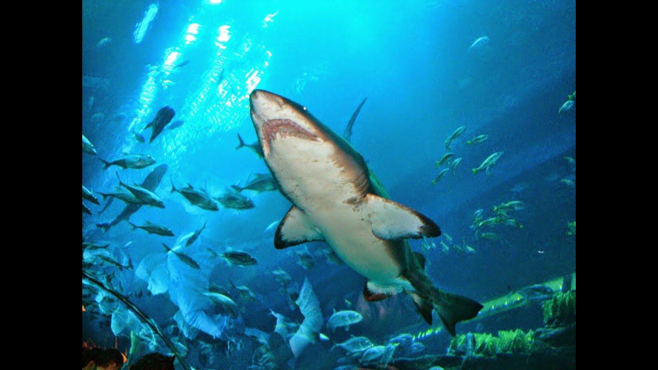 дубай акулы